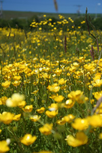 Its nearly buttercup time in the meadows surrounding the Lodges